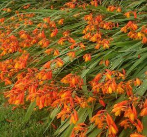 Crocosmia flowering