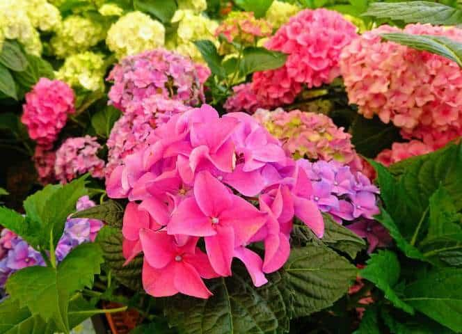 Hydrangea not flowering