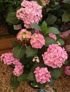 Hydrangea flowering