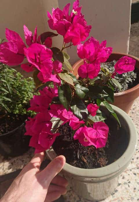 Bougainvillea not blooming