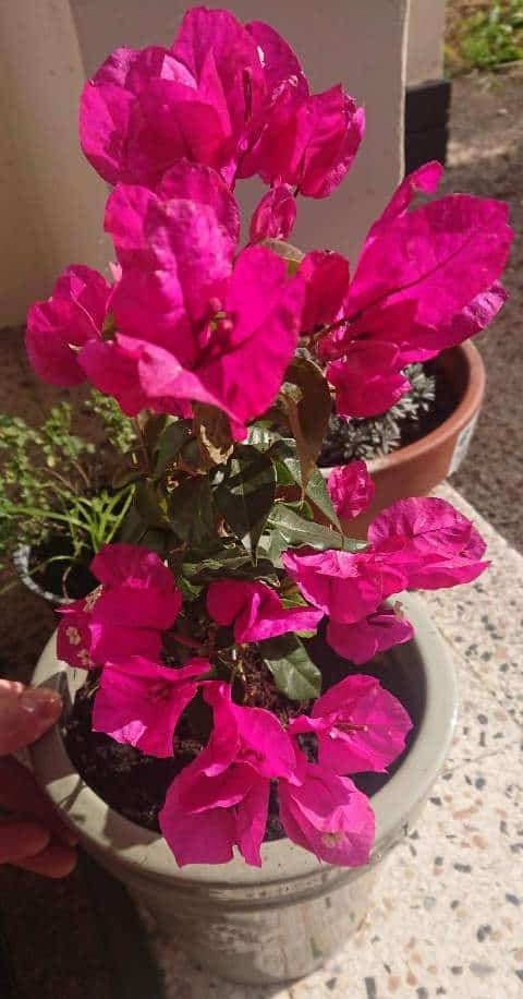 How to water bougainvillea in pots