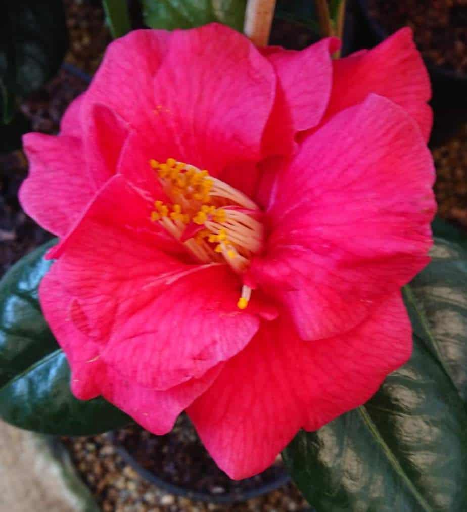 Camellia not flowering