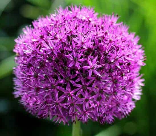 Allium not flowering
