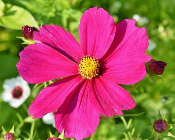 Cosmos not flowering