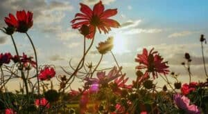 Cosmos flowering