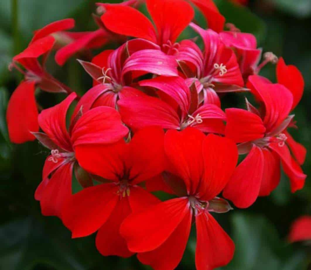 Geranium not flowering