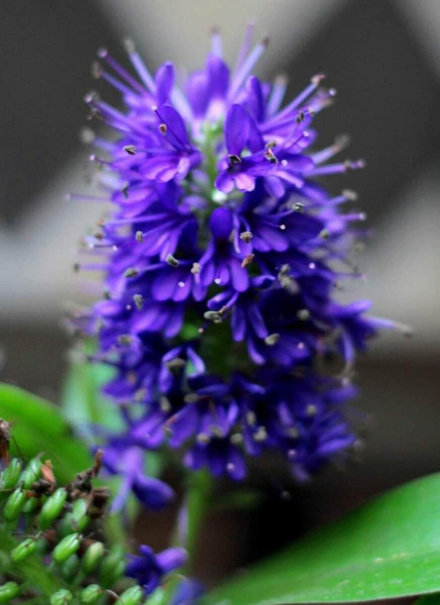 Hebe not flowering