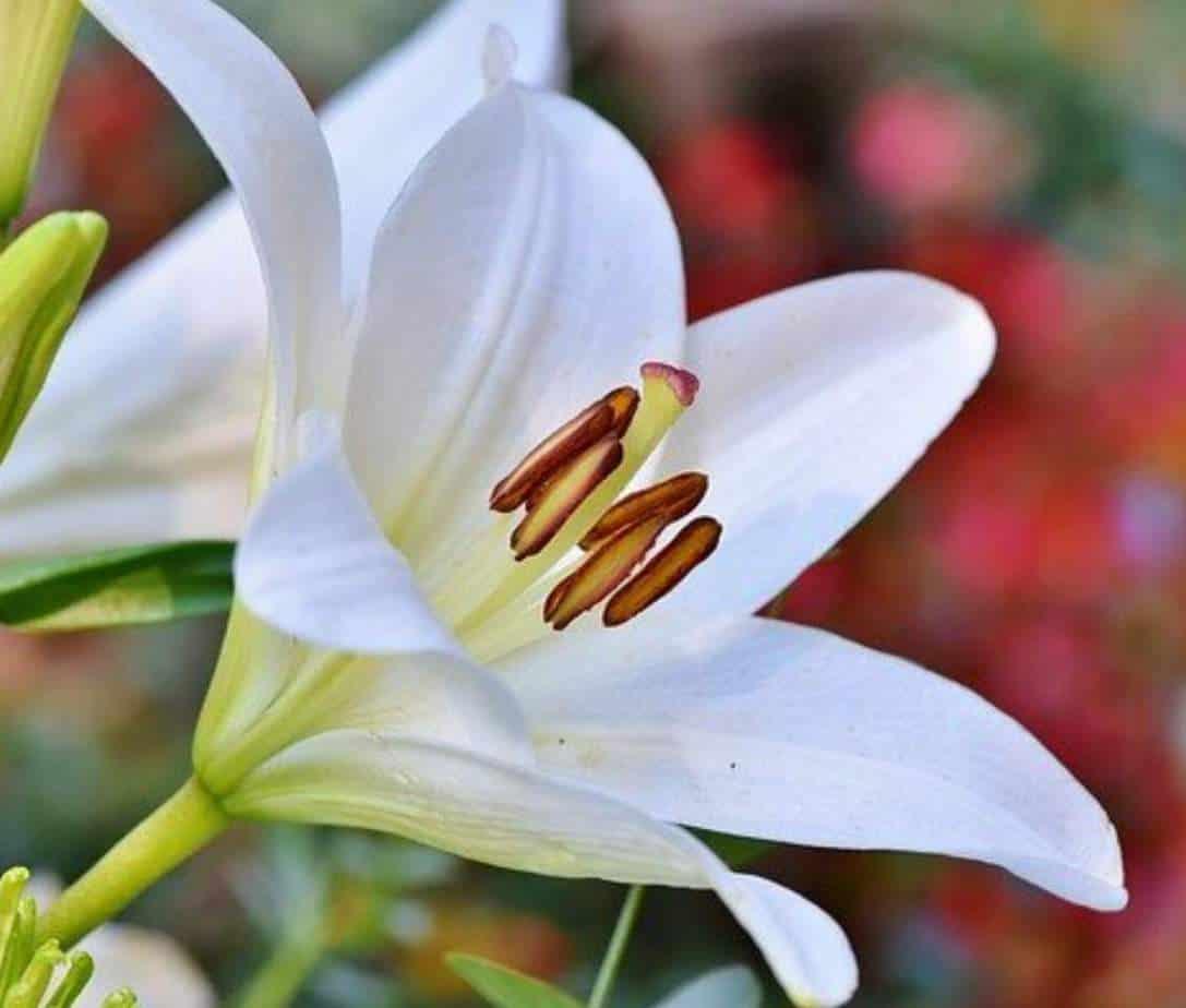 Lilies not flowering