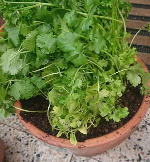 How to revive a dying cilantro plant