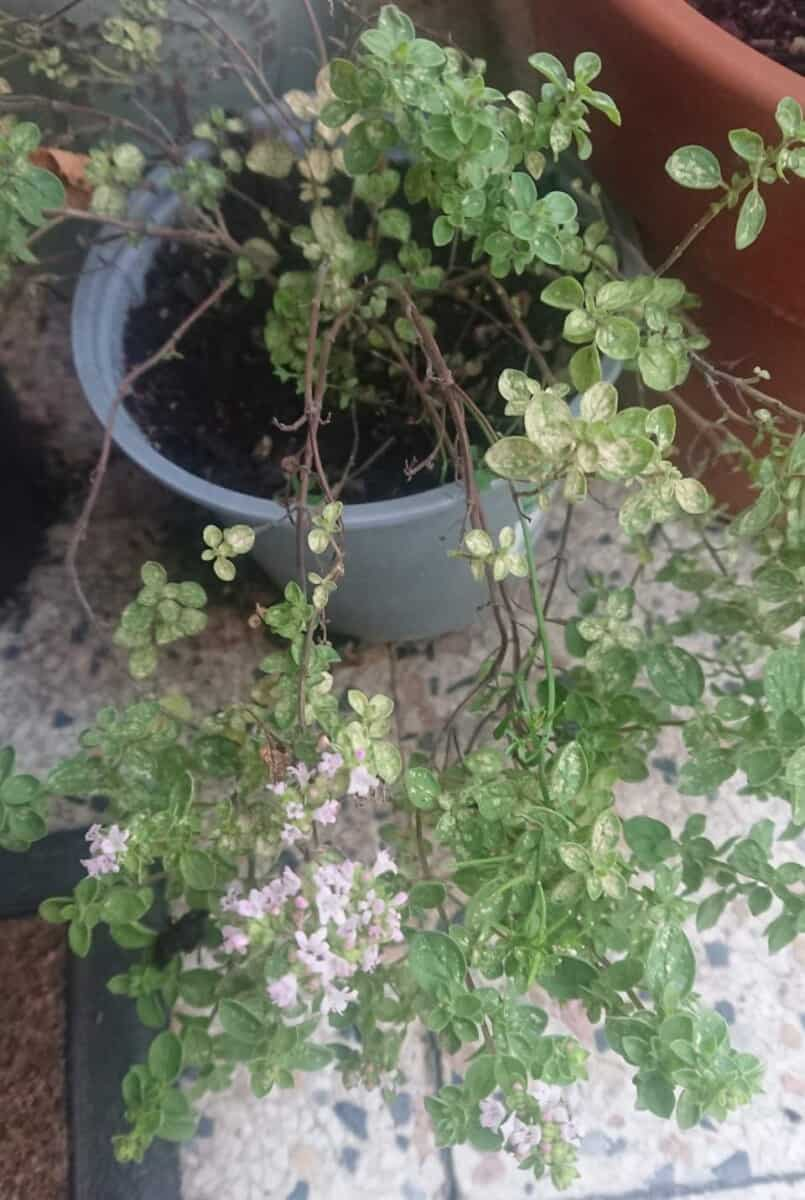 How to revive a dying oregano