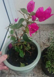Bougainvillea leaf drop
