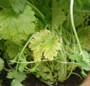 Yellow cilantro