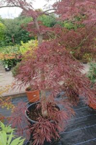 Potted Maple