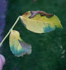 Rose leaves turning yellow because of black spot.