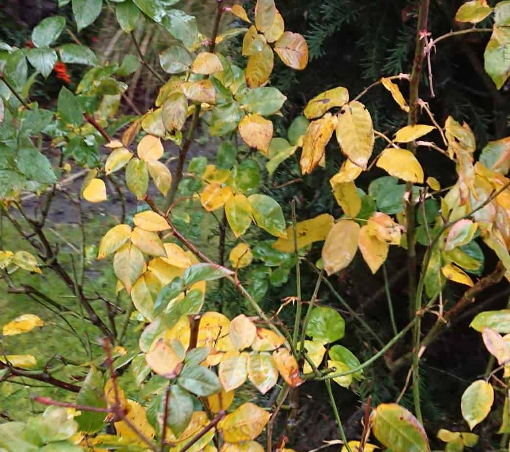 Rose leaves turning yellow