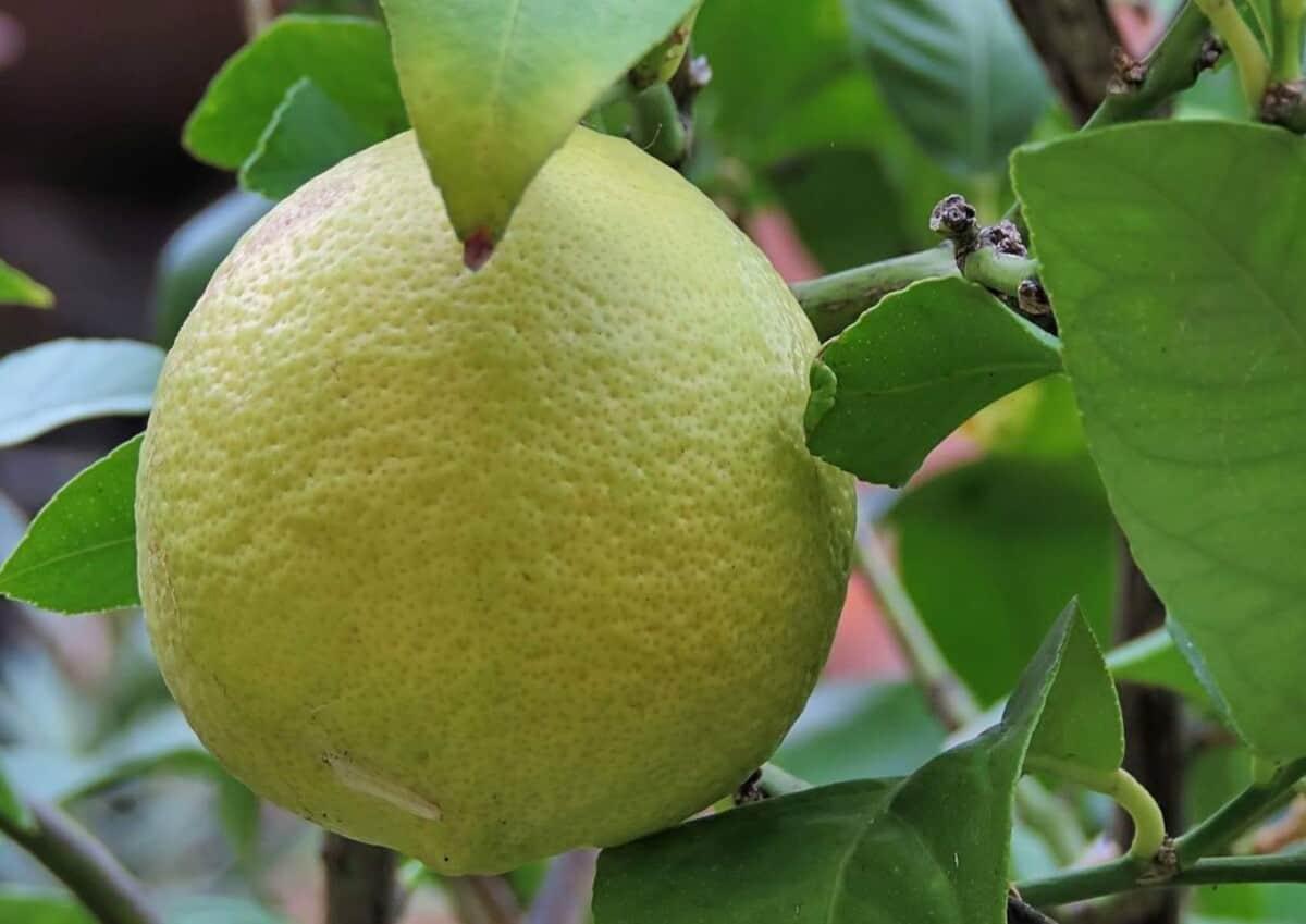 Lemon tree leaves turning yellow