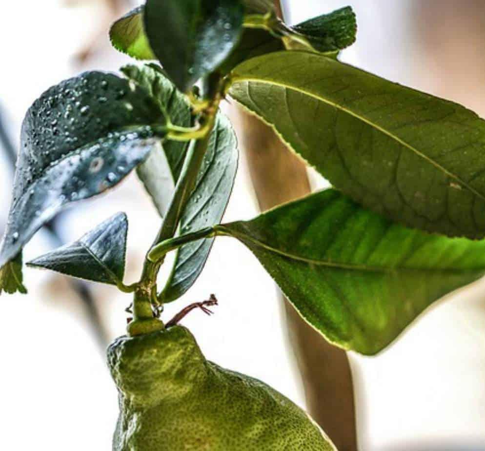 Lemon tree curling leaves