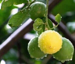 Over watering lemon trees causes leaf curl.