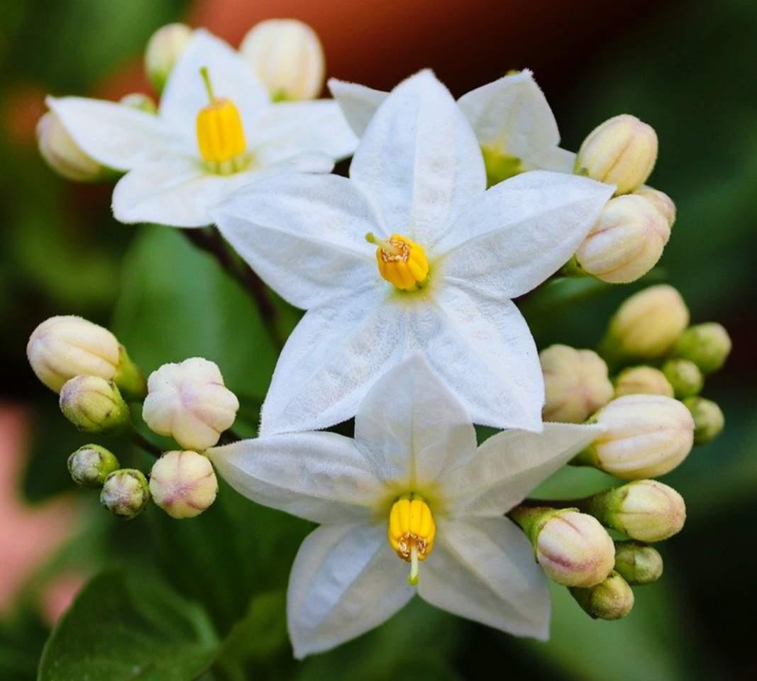 Why is my jasmine not flowering