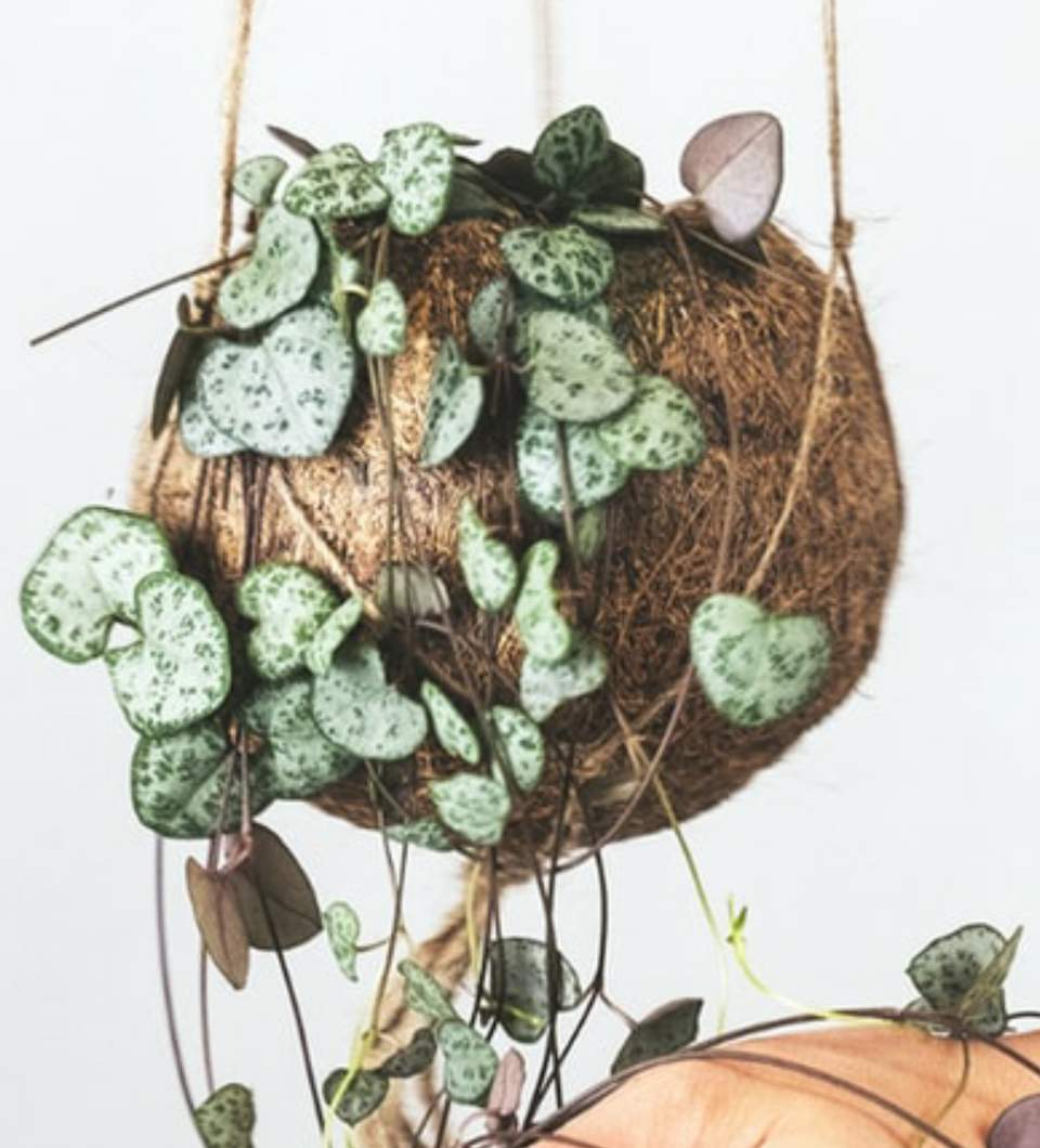 String of hearts leaves curling