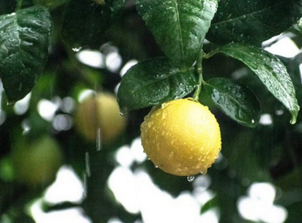 How to water lemon trees