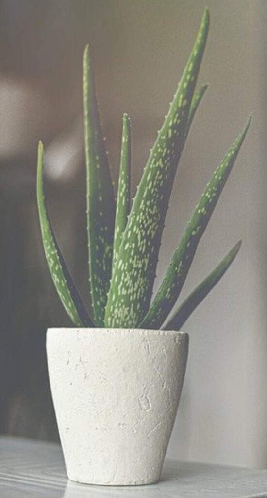 How to Water Aloe Vera Plants - Gardener Report
