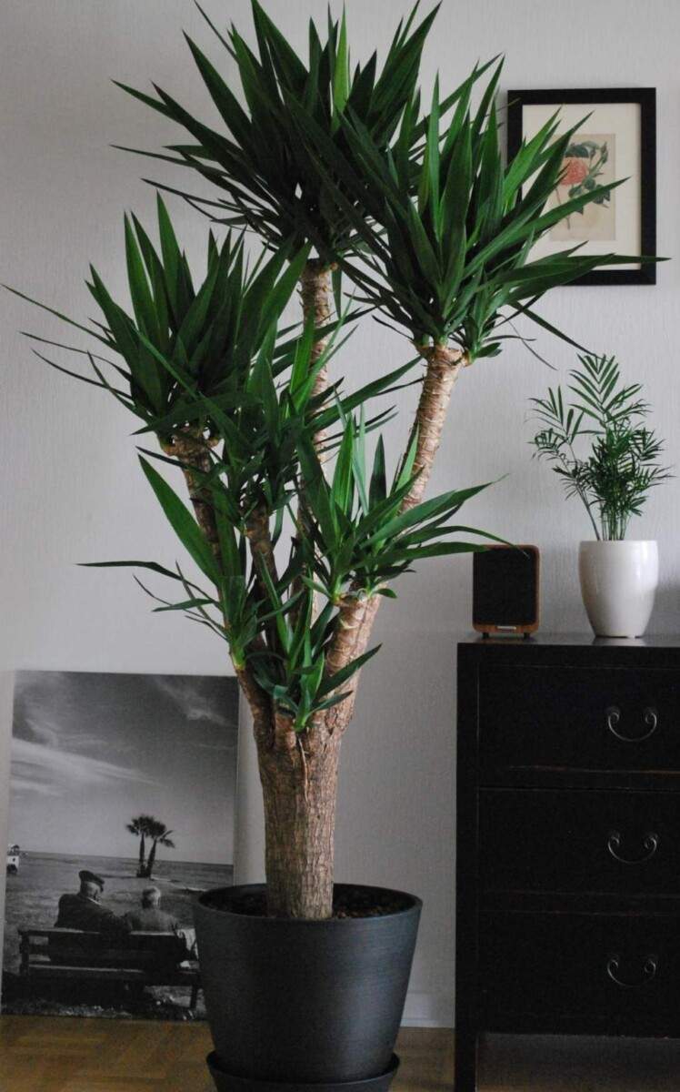 How to water yucca plants indoors