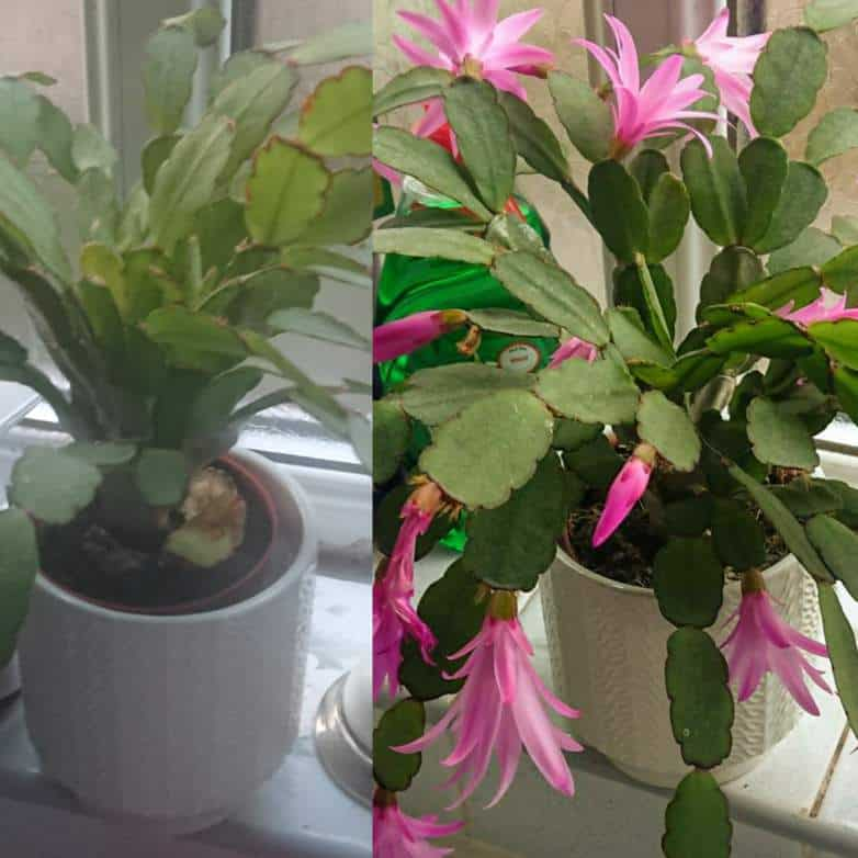 Why isn't my Christmas cactus blooming