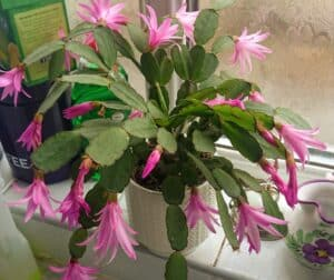Christmas cactus displaying its numerous flowers.