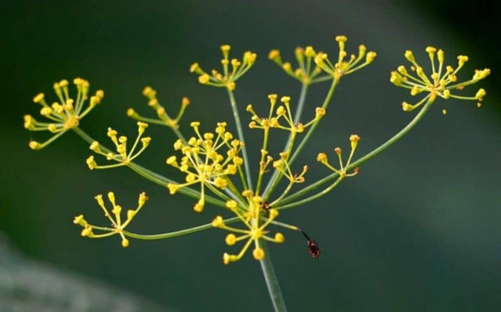 An example of a dill flower head which has bolted.