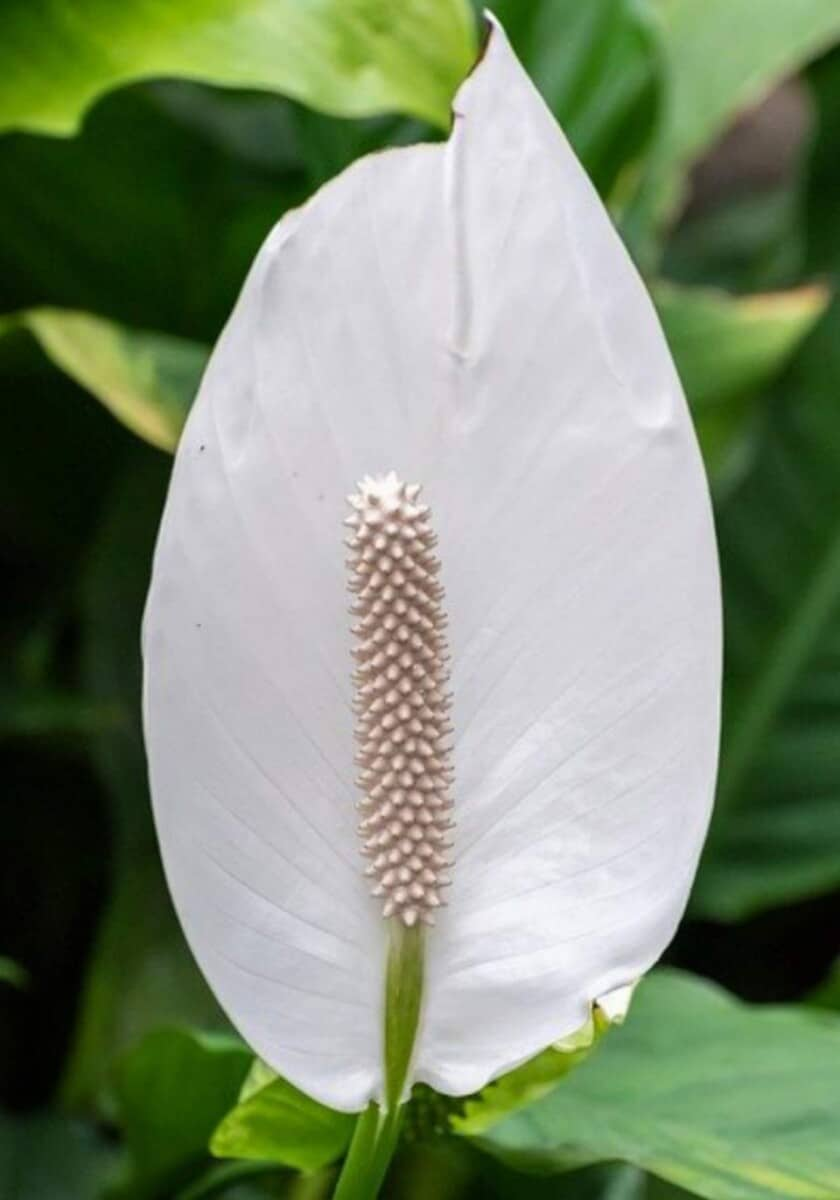 How to revive a dying peace lily