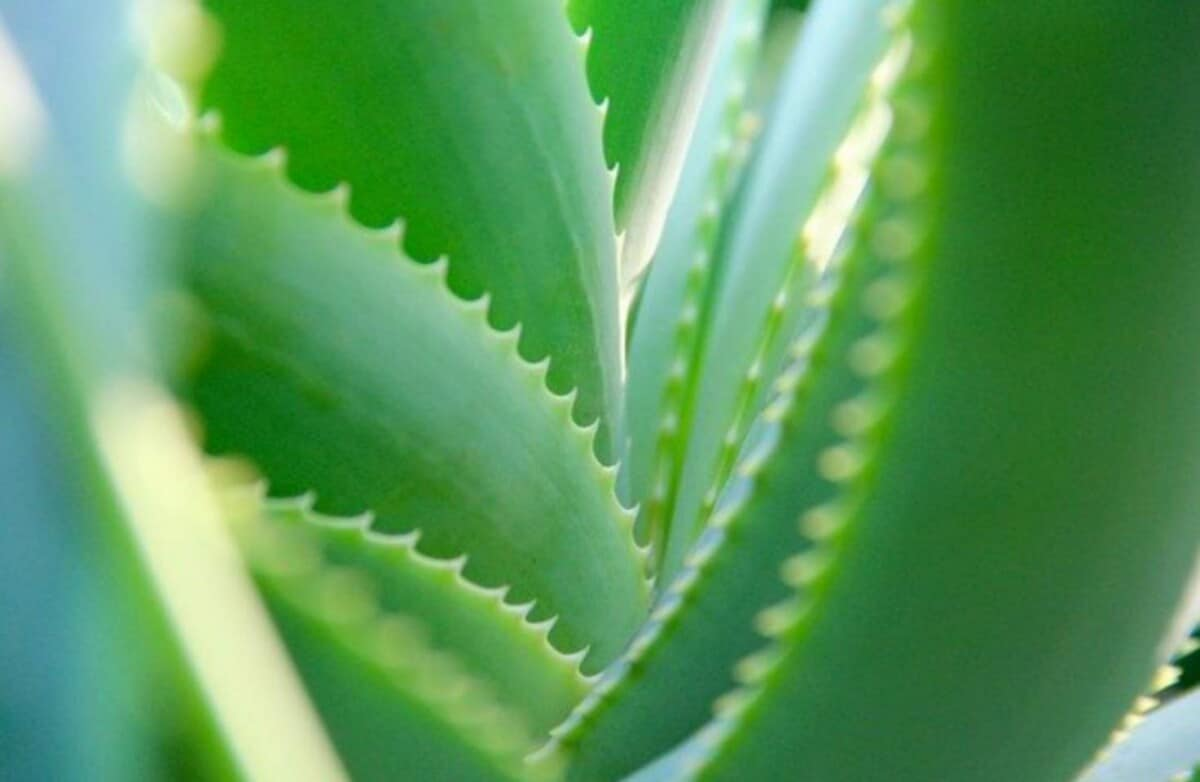 Why are my aloe vera leaves turning soft