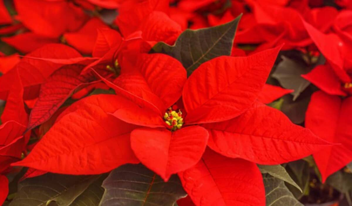 How to revive a dying poinsettia plant