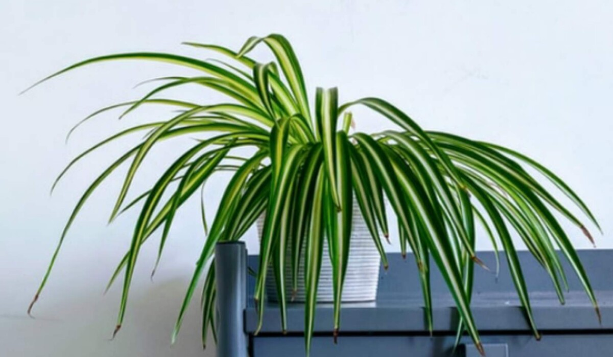 Why is my spider plant not growing
