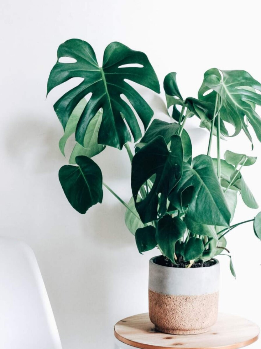 How to water monstera