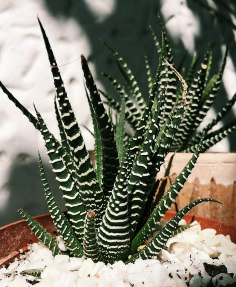 How to water zebra succulents