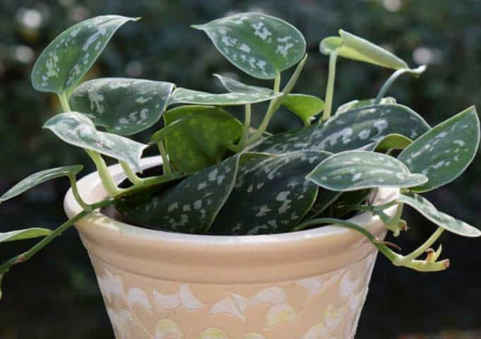 How to water philodendrons