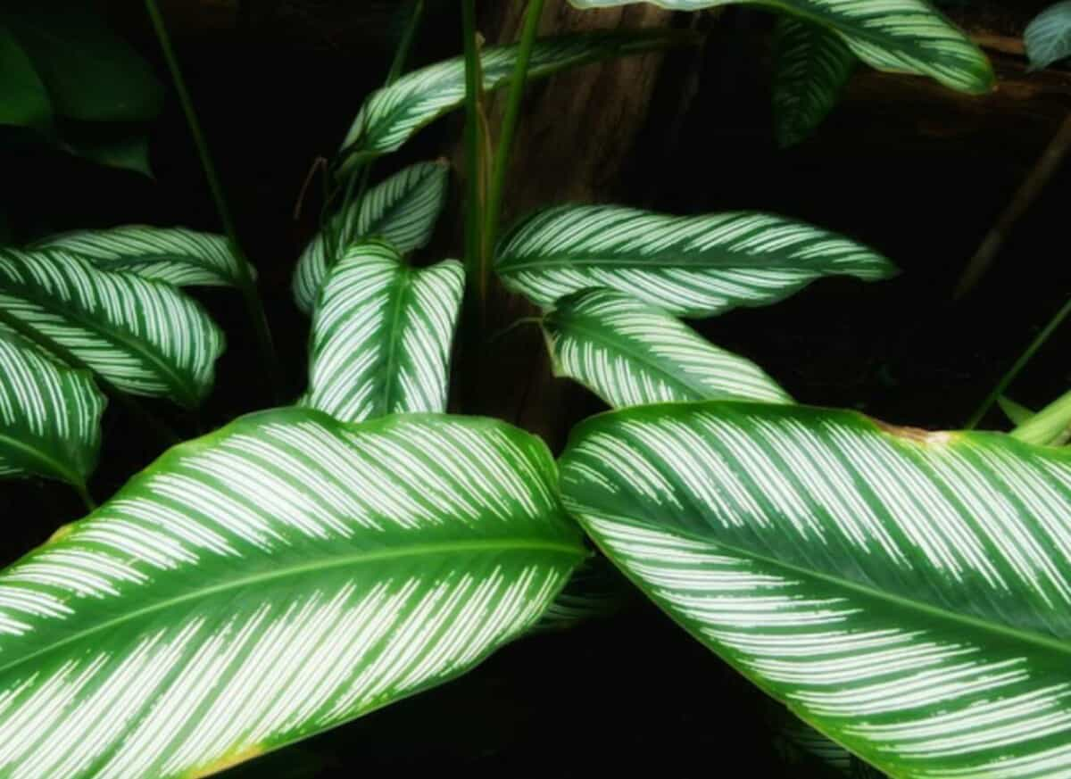 How to revive a dying calathea