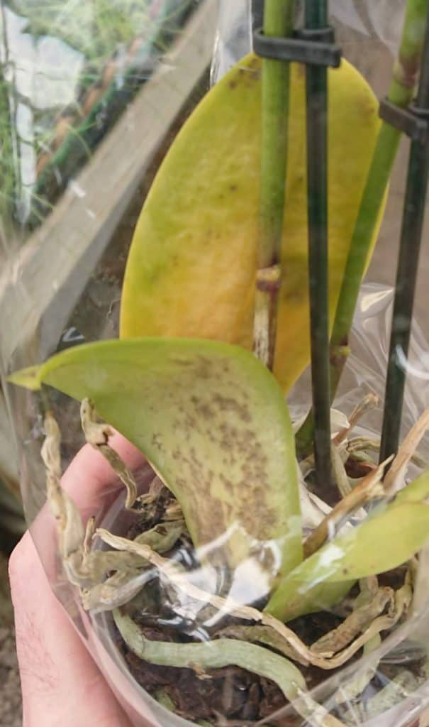 Orchid leaves turning yellow due to overwatering.