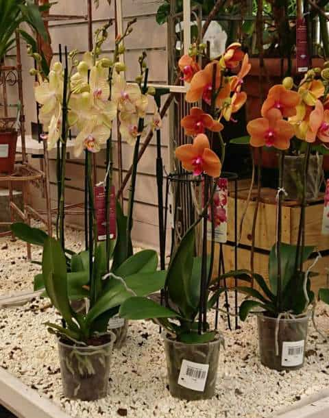 Orchids grow best in transparent pots with holes in the side and base for good air circulation and drainage.