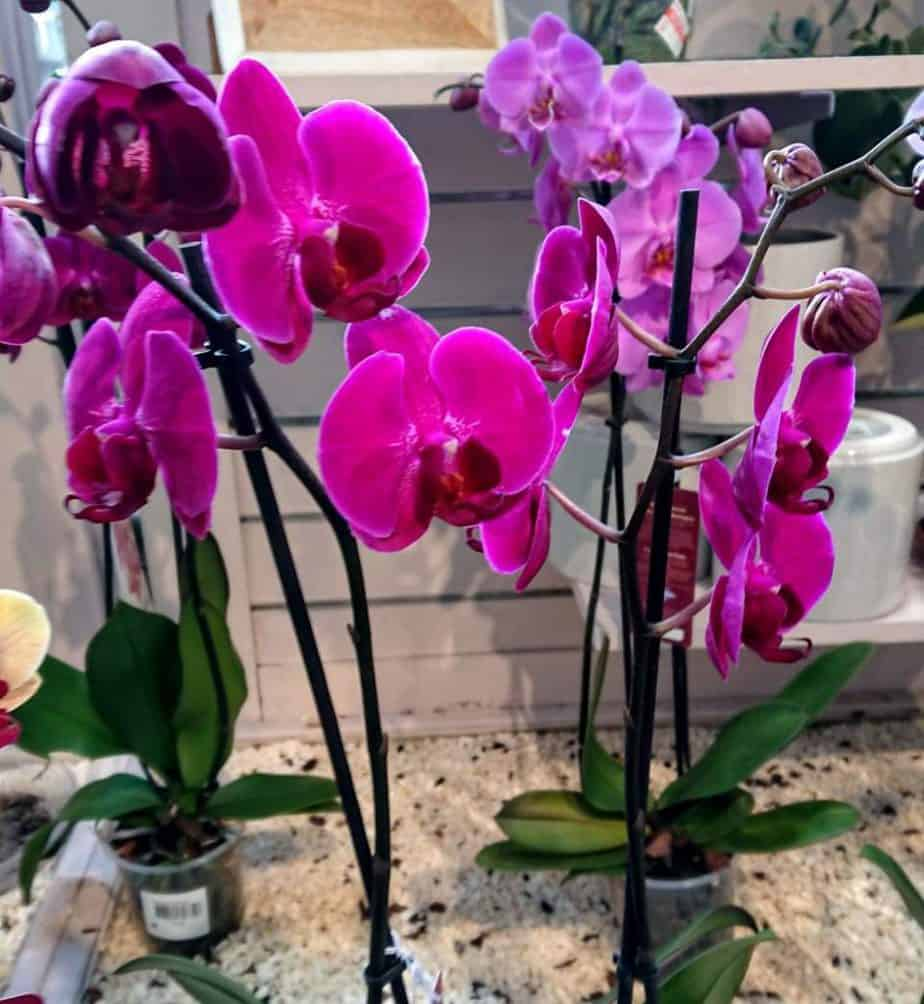 Orchids display more flowers in smaller pots.