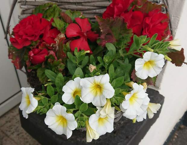 Calibrachoa in a well draining container.