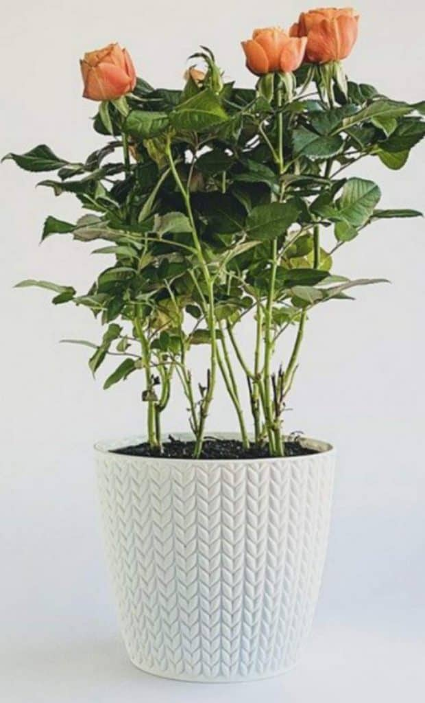 Ceramic, terracotta or clay pots are best for growing roses.