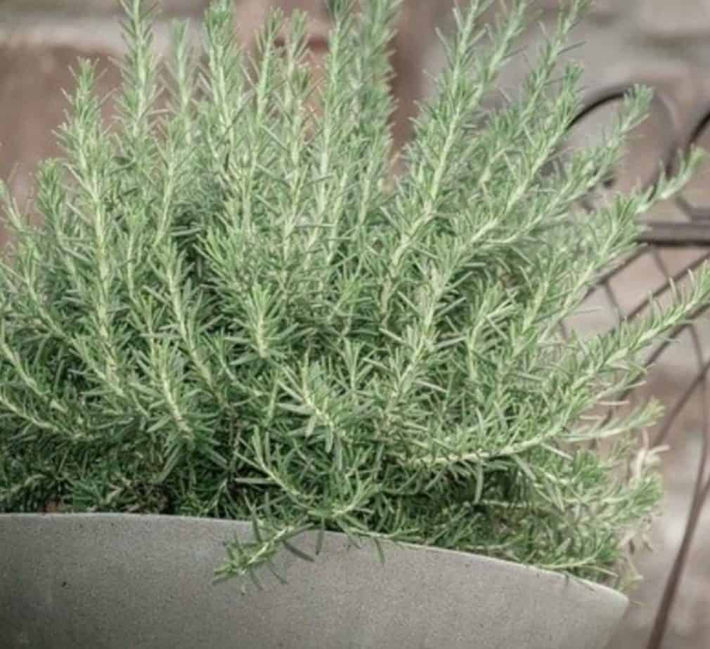 Clay and terracotta pots are the best pots for growing rosemary.
