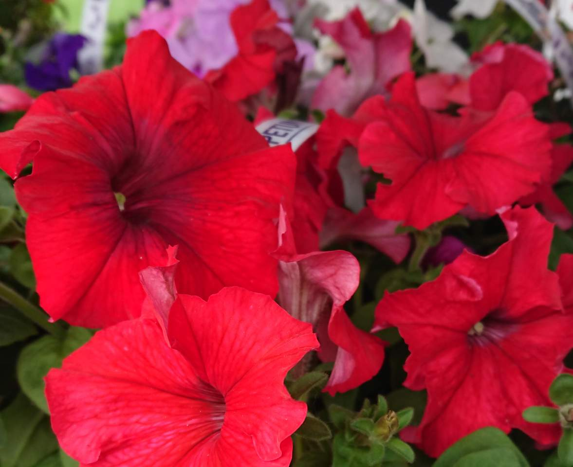 How to water petunias