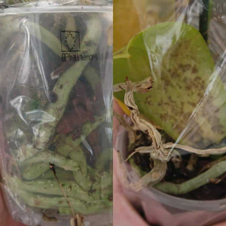 Healthy green orchid roots on the left and grey diseased, dying roots on the right due to being planted in a soil based potting medium rather then pine bark.
