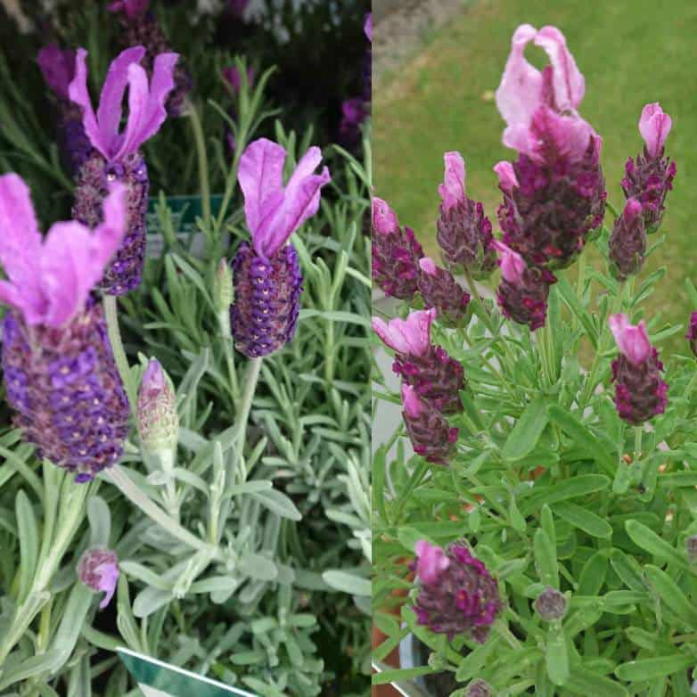 Lavender Stoechas ' Anouk' on the left and 'Bandera Pink' on the right.