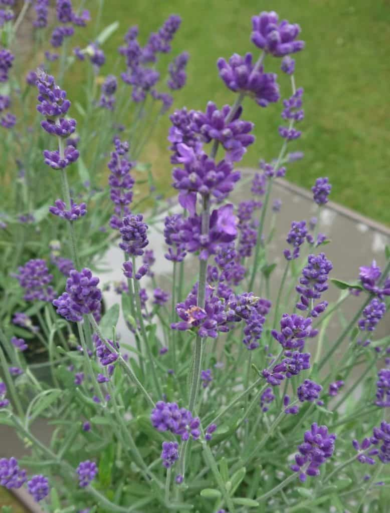 English lavender 'Hidcote' with its distinctive flowers and fine fragrance.