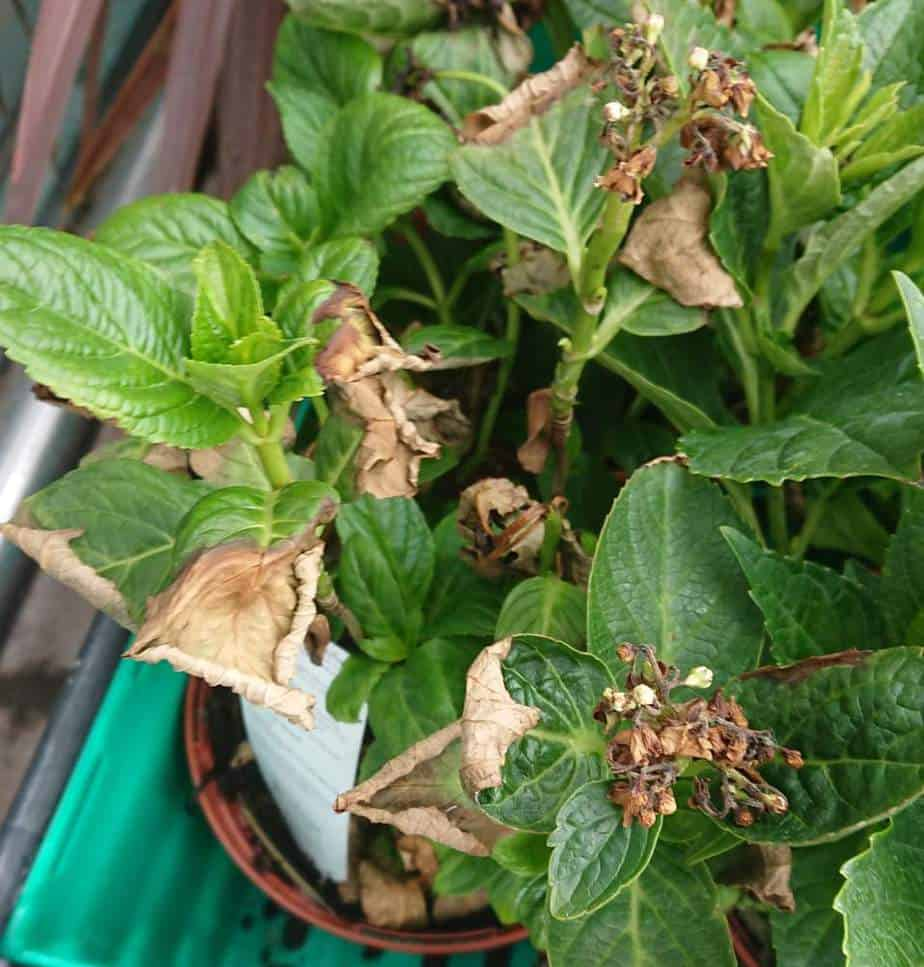 Hydrangea turning brown and dying from a lack of water as it is grown in a pot too small and too much sun.
