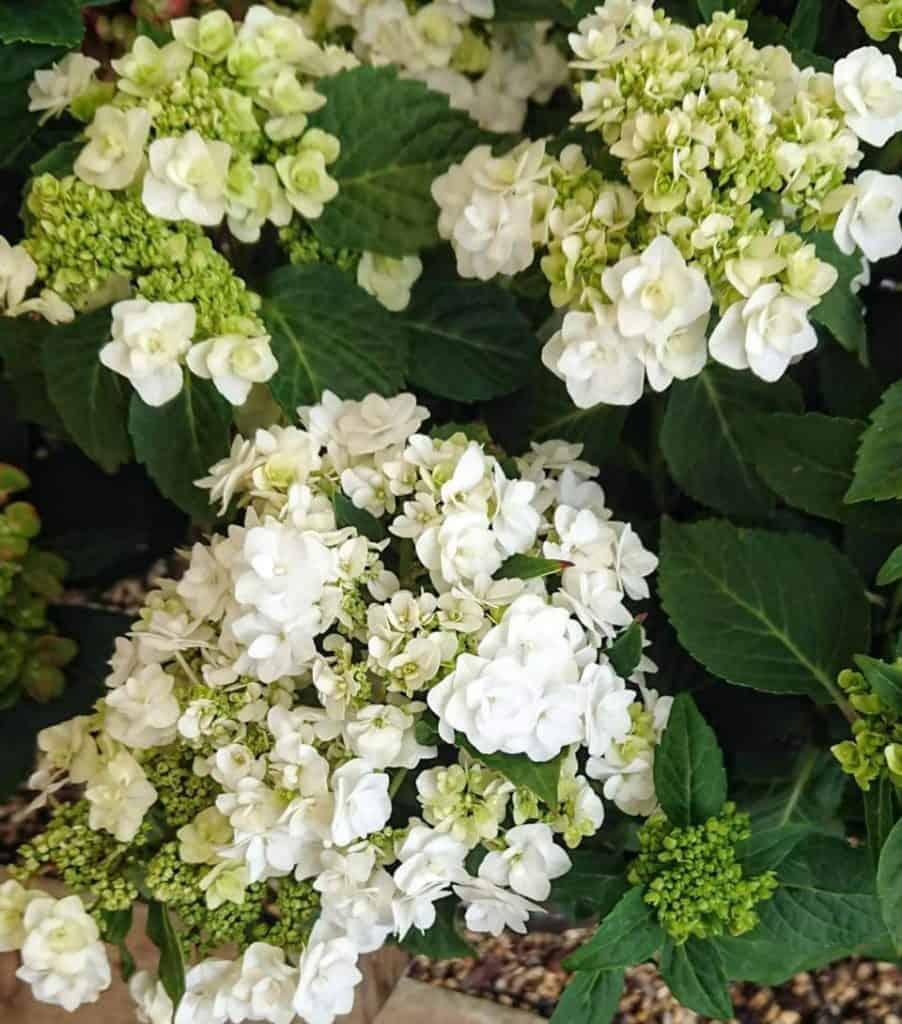 Hydrangea flowers turning white to green.